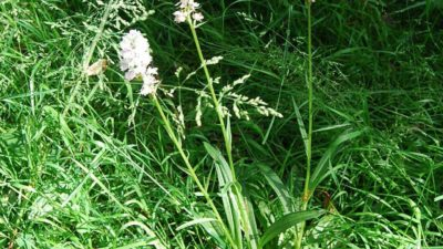 malguenac-fauchage-tardif-orchidée