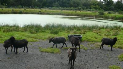 silfiac-moutons-dans-lagunes
