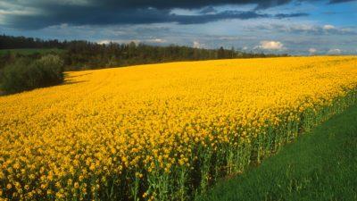 Champ de colza en fleurs dans la rŽgion de Pontivy (56).